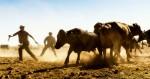 Farmer herds cattle