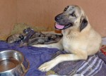 Mother Kangal dog with puppies